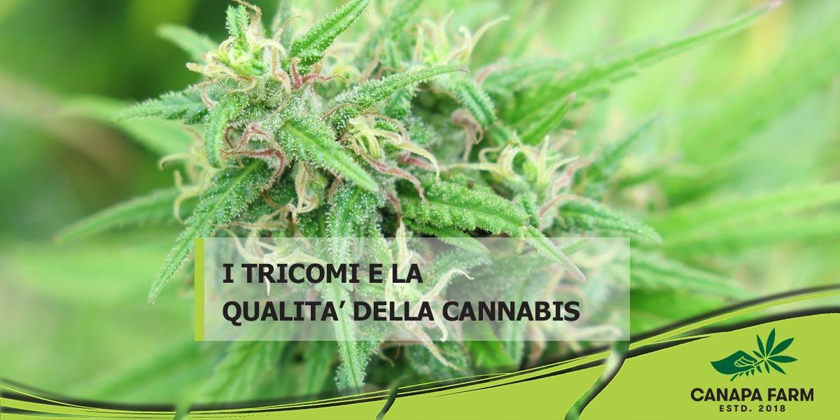 tricomi cannabis