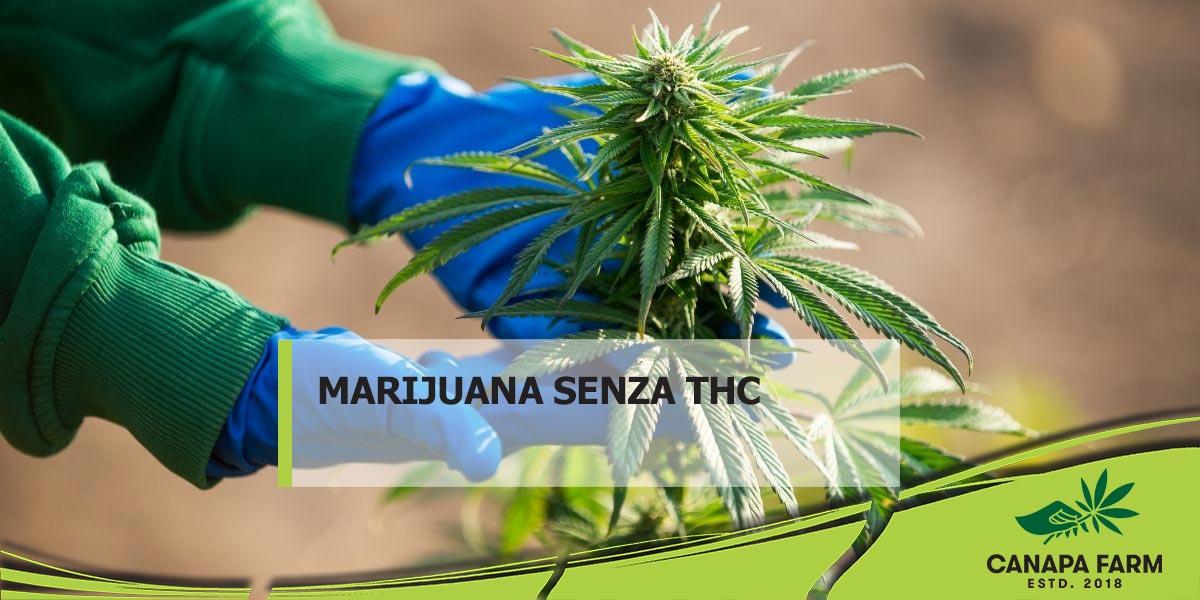 marijuana senza thc