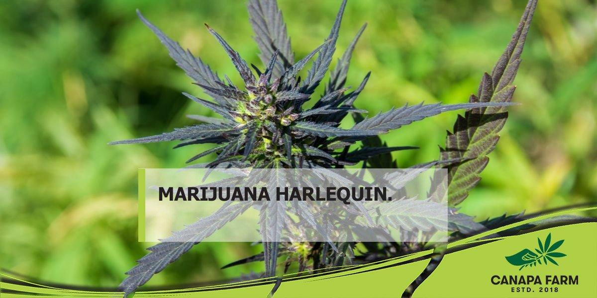 harlequin cannabis